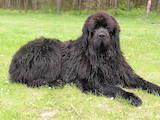Собаки, щенки Ньюфаундленд, цена 2500 Грн., Фото