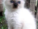 Кошки, котята Балинез, цена 400 Грн., Фото