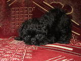 Собаки, щенки Цветная болонка, цена 2000 Грн., Фото
