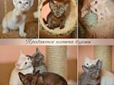 Кошки, котята Бурма, цена 3500 Грн., Фото