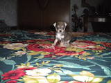 Собаки, щенята Карликовий пінчер, ціна 800 Грн., Фото