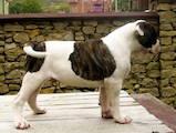 Собаки, щенки Американский бульдог, цена 5000 Грн., Фото