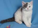 Кошки, котята Селкирк-рекс, цена 4000 Грн., Фото