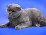 Кішки, кошенята Спаровування, ціна 700 Грн., Фото