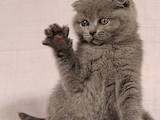 Кошки, котята Шотландская вислоухая, цена 2400 Грн., Фото