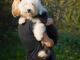 Собаки, щенята Бобтейль, ціна 7000 Грн., Фото