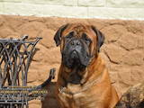 Собаки, щенки Бульмастиф, цена 4500 Грн., Фото