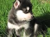 Собаки, щенята Лхаса апсо, ціна 2500 Грн., Фото