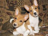 Собаки, щенята Басенджі, ціна 3200 Грн., Фото