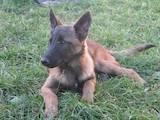 Собаки, щенки Бельгийская овчарка (Малинуа), цена 3000 Грн., Фото