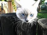 Кішки, кошенята Тайська, ціна 3500 Грн., Фото