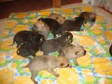 Собаки, щенята Стаффордширський бультер'єр, ціна 300 Грн., Фото