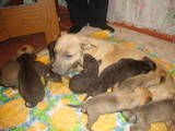 Собаки, щенки Стаффордширский бультерьер, цена 300 Грн., Фото