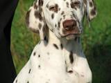 Собаки, щенята Далматин, ціна 1900 Грн., Фото