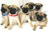 Собаки, щенки Мопс, цена 3000 Грн., Фото