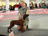 Собаки, щенята Родезійського ріджбек, ціна 9000 Грн., Фото