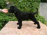 Собаки, щенки Ризеншнауцер, цена 3200 Грн., Фото