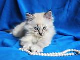 Кошки, котята Невская маскарадная, цена 1000 Грн., Фото