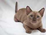 Кішки, кошенята Бурма, ціна 5500 Грн., Фото