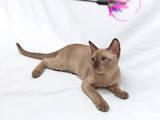 Кошки, котята Бурма, цена 5500 Грн., Фото