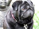 Собаки, щенята Мопс, ціна 3500 Грн., Фото