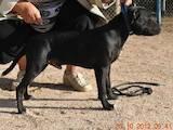 Собаки, щенята Стаффордширський бультер'єр, ціна 6500 Грн., Фото