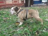 Собаки, щенята Англійський бульдог, ціна 1500 Грн., Фото