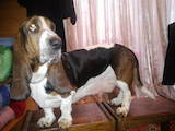 Собаки, щенки Бассет, цена 2000 Грн., Фото