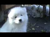 Собаки, щенята Самоїдом, ціна 3500 Грн., Фото