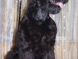 Собаки, щенки Черный терьер, цена 3000 Грн., Фото