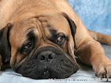 Собаки, щенки Бульмастиф, цена 100 Грн., Фото