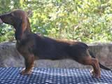Собаки, щенята Довгошерста такса, ціна 4000 Грн., Фото