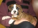 Собаки, щенята Боксер, ціна 1300 Грн., Фото
