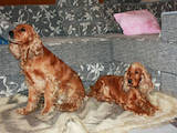 Собаки, щенки Американский коккер, цена 700 Грн., Фото