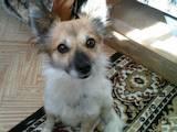 Собаки, щенята Папільон, ціна 1000 Грн., Фото