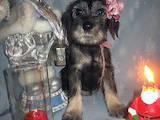 Собаки, щенки Миттельшнауцер, цена 2000 Грн., Фото