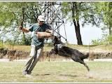 Собаки, щенята Бельгійська вівчарка (Грюнендаль), Фото