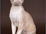 Кошки, котята Девон-рекс, цена 900 Грн., Фото