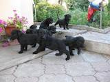 Собаки, щенки Ризеншнауцер, цена 1000 Грн., Фото