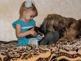Собаки, щенки Бриар, цена 4000 Грн., Фото