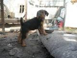 Собаки, щенята Вельштер'єр, ціна 3200 Грн., Фото
