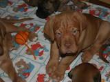Собаки, щенята Бордоський дог, ціна 8000 Грн., Фото