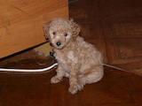 Собаки, щенята Малий пудель, ціна 800 Грн., Фото