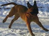 Собаки, щенята Бульмастиф, ціна 100 Грн., Фото
