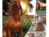 Собаки, щенки Венгерская выжла, цена 10000 Грн., Фото
