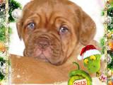 Собаки, щенки Бордосский дог, цена 4000 Грн., Фото