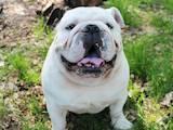 Собаки, щенята Англійський бульдог, ціна 1000 Грн., Фото