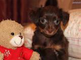 Собаки, щенята Російський довгошерстий тойтерьер, ціна 1000 Грн., Фото