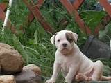 Собаки, щенки Американский бульдог, цена 15000 Грн., Фото