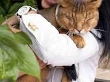Кішки, кошенята Абіссінська, ціна 10 Грн., Фото